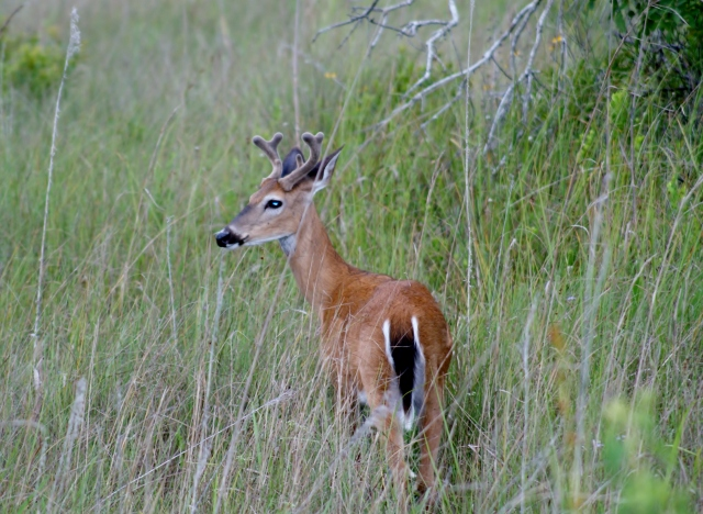 Deer, March 2012, Big Cypress NP