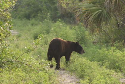 Big Cypress Bear