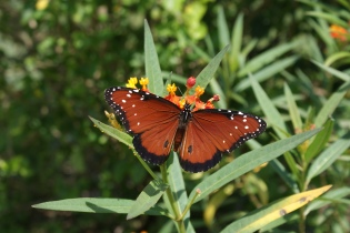 Butterfly in my yard