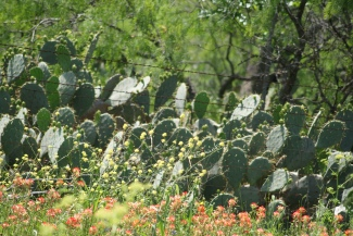 Texas cacti and spring flowers