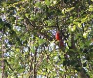 Cardinal watching me