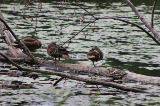 Three little duckies sitting on a log; State park in NC