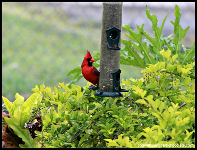 Cardinal in backyard